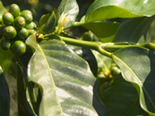 The cherries of the Coffea plant